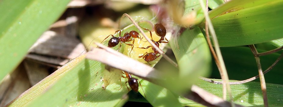 How to Manage Fire Ants with Baits
