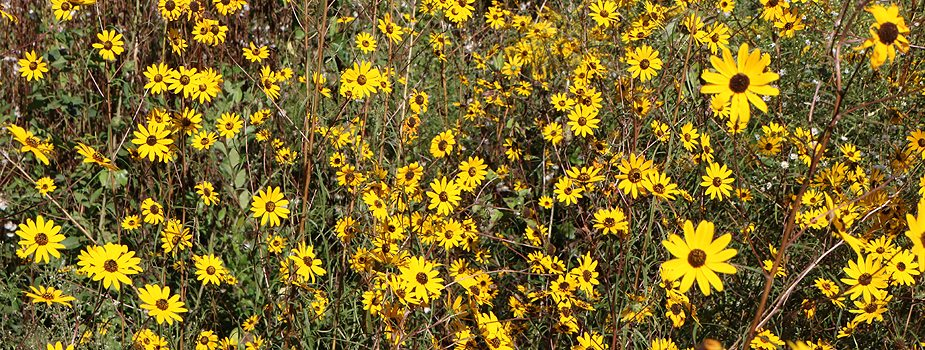 Yellow Fall Wildflowers Add Interest to Countryside