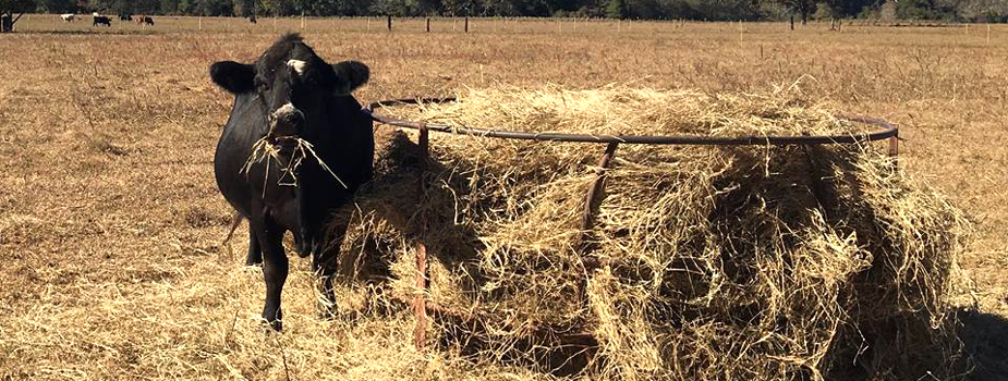 Drought Management Strategies: Preserving Next Year's Calf Crop