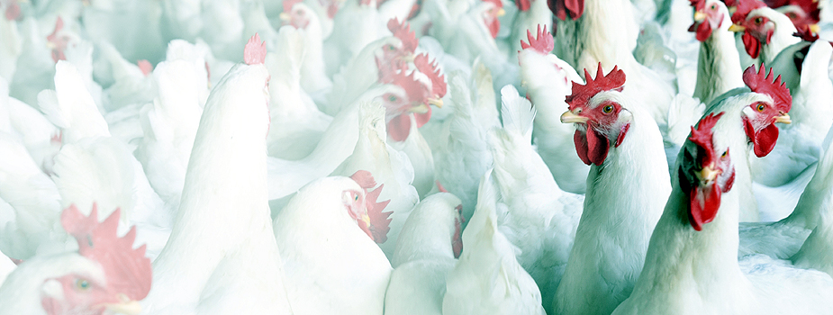 Alabama Extension Launches Avian Influenza Website
