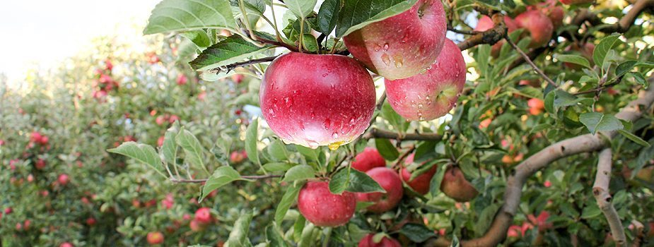 Do Your Research Before Buying Fruit Trees